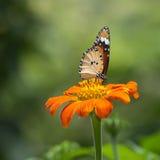 坐在花的蝴蝶 图库摄影