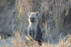坐在草中的幼小鬣狗 库存图片