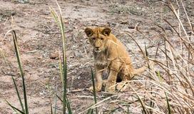 坐在草后的幼小非洲幼狮用茅草盖 免版税库存照片