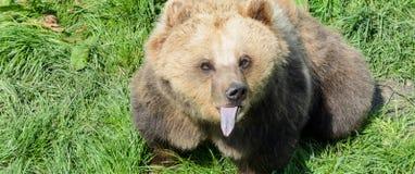 坐在草和显示它的舌头的棕熊(熊属类arctos) 免版税库存照片