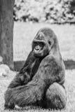 坐在草和联系目光接触的西部凹地大猩猩在晴天B&W 库存图片