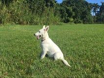 坐在草的一只白色德国牧羊犬小狗 库存图片
