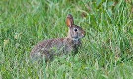 坐在草的一只逗人喜爱的兔子的图象 免版税库存图片