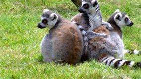 坐在草的三只环纹尾的狐猴 股票录像