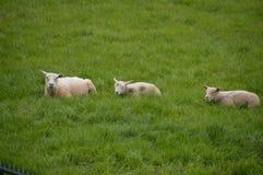 坐在草的三只羊羔 免版税库存照片