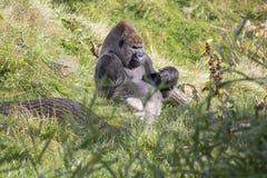 坐在草的大猩猩 库存照片