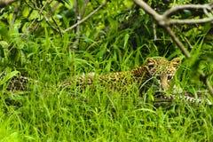 坐在草的婴孩非洲豹子在克鲁格公园南Afric 库存图片