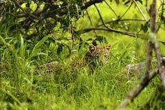 坐在草的婴孩非洲豹子在克鲁格公园南Afric 图库摄影