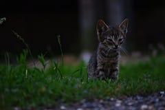 坐在草的小小猫 免版税库存图片