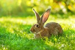 坐在草的布朗兔子 图库摄影