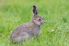 坐在草的年轻野兔 库存图片
