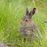 坐在草的年轻野兔 免版税库存图片