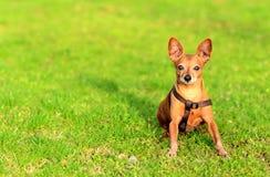 坐在草的微型短毛猎犬狗 免版税库存照片