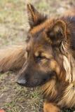 坐在草的德国牧羊犬 图库摄影