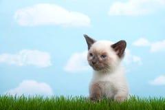 坐在草的暹罗小猫 库存照片
