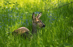 坐在草的母鹿 免版税库存照片