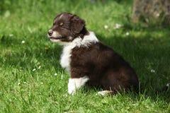 坐在草的澳大利亚牧羊人惊人的小狗 免版税库存照片