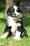 坐在草的澳大利亚牧羊人惊人的小狗 免版税库存图片