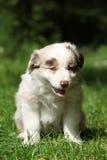 坐在草的澳大利亚牧羊人惊人的小狗 库存图片