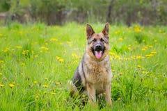坐在草的狗 品种德国牧羊犬 年龄1年 免版税图库摄影