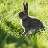 坐在草的由后面照的年轻野兔 免版税库存图片