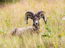 坐在草的美国大角野绵羊 库存照片