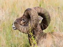 坐在草的美国大角野绵羊 免版税库存照片
