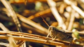 坐在草的草甸蚂蚱 免版税库存图片
