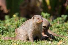 坐在草的被结合的猫鼬 免版税库存图片