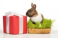 坐在草的逗人喜爱的兔宝宝在红色当前箱子附近 图库摄影