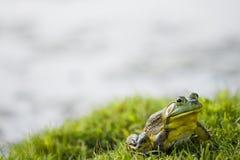 坐在草的青蛙或蟾蜍 图库摄影