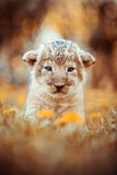 坐在草的非洲狮子的幼兽 免版税库存照片