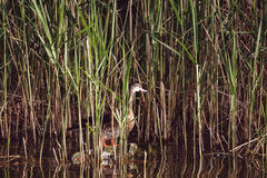 坐在草的鸭子, 免版税库存照片