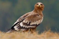 坐在草的Egale 在森林干草原老鹰,天鹰座nipalensis的鸟,在草坐草甸,森林在背景中 免版税库存照片