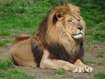 坐在草,特写镜头的一头骄傲的狮子 库存图片