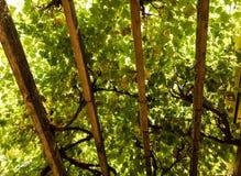 坐在葡萄树下树荫从上述椽木的 图库摄影