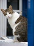坐在蓝色窗口和观看的白色烟草花叶病的猫 库存照片