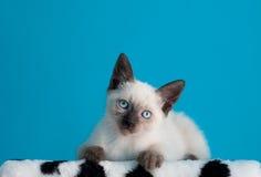 坐在蓝色背景的暹罗小猫 库存照片