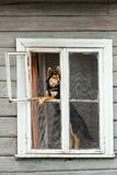 坐在被打开的房子窗口和寻找印刷品的多壳的狗 图库摄影