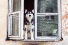 坐在被打开的窗口的多壳的狗 库存图片