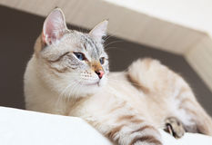 坐在视窗里的泰国猫。 免版税图库摄影