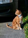 坐在车道的Hansome年轻姜红色猫在花床旁边 库存图片