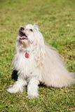 玩具狮子狗狗画象在公园 免版税库存图片
