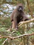 坐在金合欢树的橄榄色的狒狒 免版税库存照片