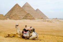 坐在金字塔前面的骆驼 库存图片