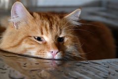 坐在金属面盆的大红色猫 库存照片