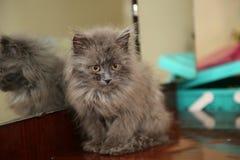坐在镜子附近的蓝色西伯利亚长发小猫 免版税库存图片