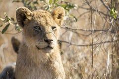 坐在长的草的幼狮的特写镜头画象 免版税库存图片