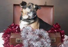 坐在闪亮金属片中的一个手提箱里面的小狗狗 免版税库存图片