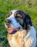 坐在阳光下的愉快的棕色和白色狗 库存图片
